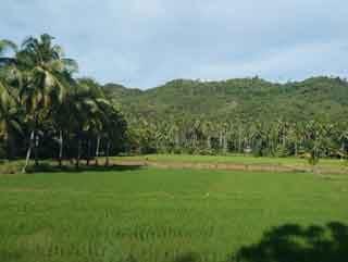 Auf dem Weg nach Sipalay kommen wir auch an Reisfeldern vorbei.